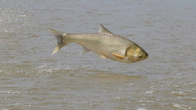 Asian Carp in Arkansas Jumping into Boats
