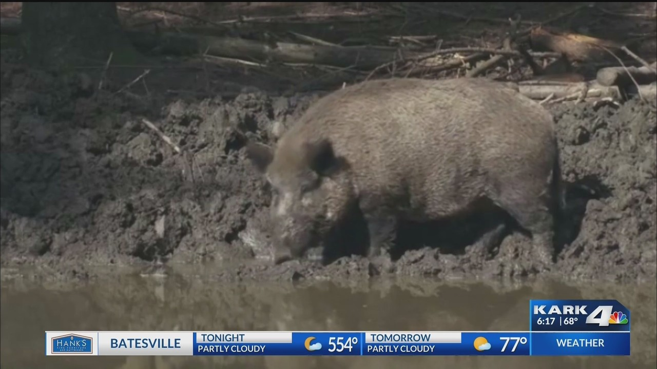 Feral Hogs Running Wild In Arkansas Causing Problems For Farmers
